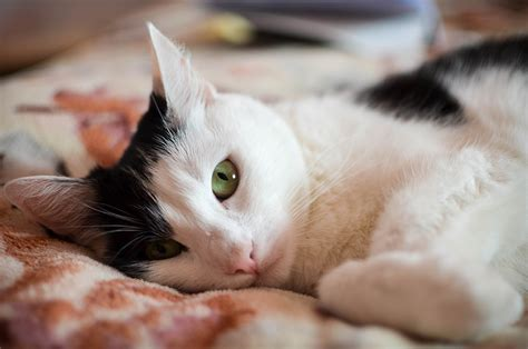 What is Feline Infectious Peritonitis (FIP)? - PetMeds