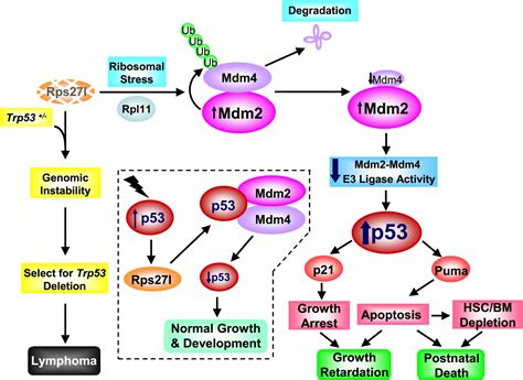Ribosomal protein S27-like is a physiological regulator of