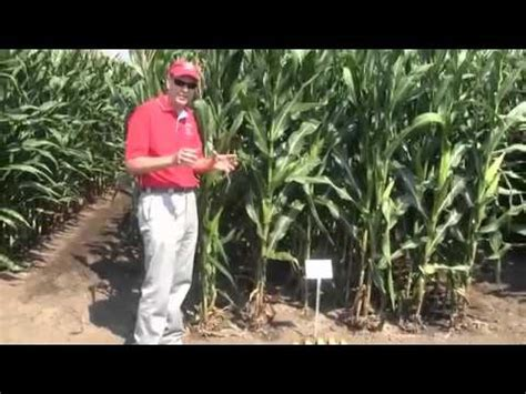 Corn: Row and Plant Spacing for Better Yeild - YouTube