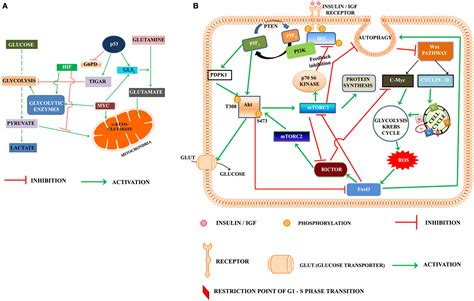 Frontiers | Role of PI3K-AKT-mTOR and Wnt Signaling