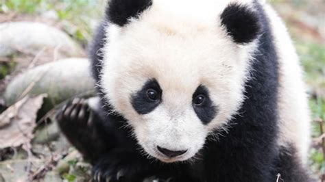 BBC - Earth - Why we really should save giant pandas