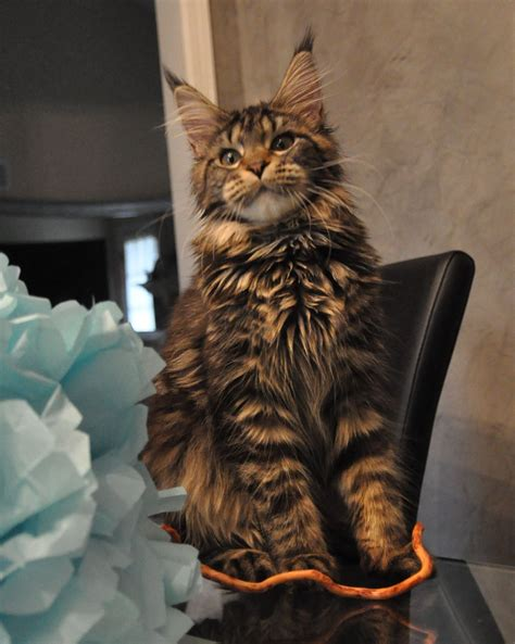 Alysia of EuroCoons Black Classic Tabby Female Maine Coot
