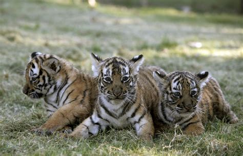 India: Tiger headcount shows almost 30% rise in numbers