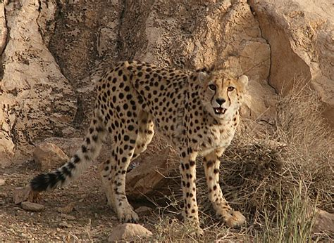 Let's Draw Endangered Species! : ): Asiatic Cheetah