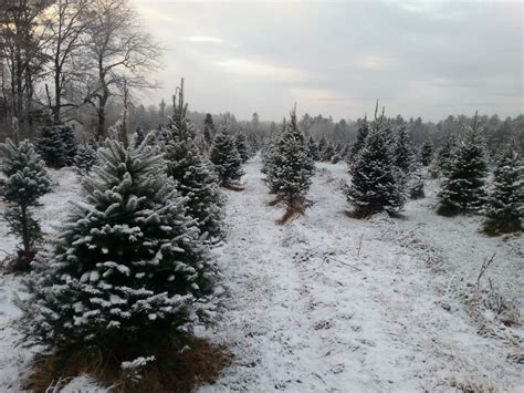 Where to cut your own Christmas Trees - News