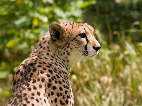 Can You Tell the Difference Between a Cheetah and a